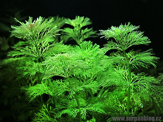 Limnophila sessiliflora, Ambulia, Dwarf Ambulia, Asian Marshweed.JPG
